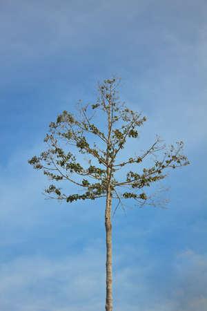 single tree tops with the blue sky  photo