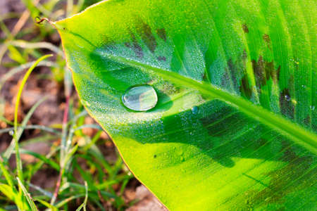Water drop on a green banana leaf