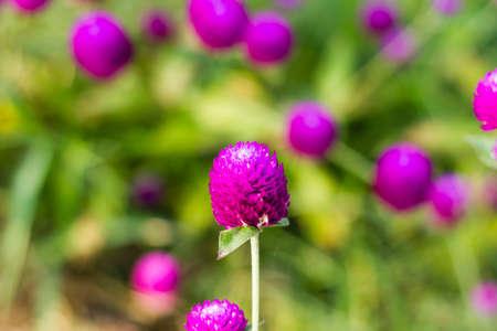 globosa: Globe amaranth or Gomphrena globosa flowers in the garden  Stock Photo