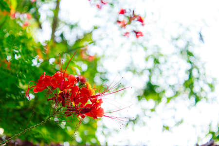 Close up of Peacock flowers on poinciana tree  photo