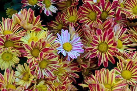 Top view of a witein many yellow chrysanthemum photo