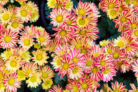 Top view of yellow chrysanthemum for backgrond use photo