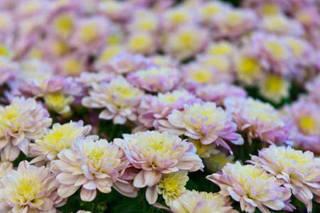 Close - up of bright colorful chrysanthemums  Stock Photo