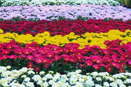 Beautiful flowers of chrysanthemums (colorful of chrysanthemum) Stock Photo
