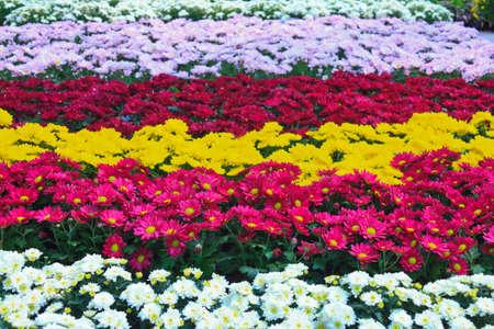 lindi: Beautiful flowers of chrysanthemums (colorful of chrysanthemum) Stock Photo