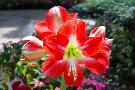 hippeastrum flower: Beautiful Orange Amaryllis Hippeastrum flower in garden