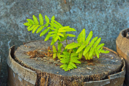 decomposition: fern growing on the cut of coconut stump Stock Photo