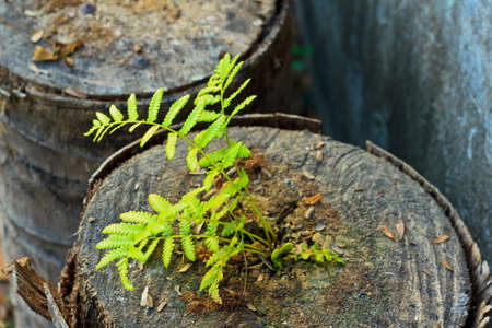 fern growing on the cut of coconut stump Stock Photo
