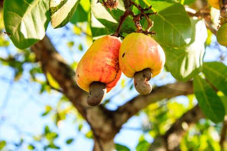 캐슈 너트는 나무에서 자랍니다.이 특별한 너트는 과일 바깥에서 자랍니다. 스톡 콘텐츠
