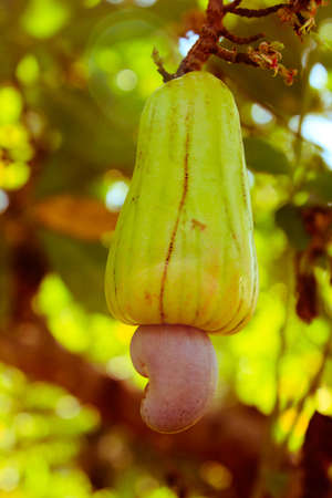 cashew tree: Cashew nuts growing on a tree This extraordinary nut grows outside the fruit (vintage style picture)