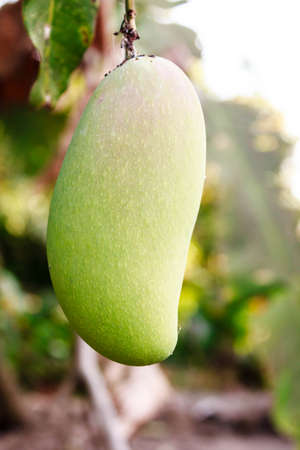 Close up of mango on a mango tree photo