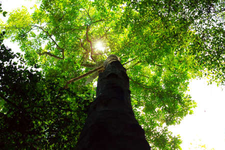 The green trees top in forest, blue sky and sun beams shining through leaves  photo
