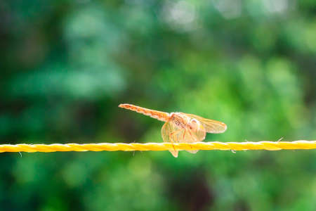dropwing: A resting  yellow dragonfly on the yellow rope