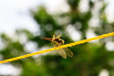 A resting  yellow dragonfly on the yellow rope photo