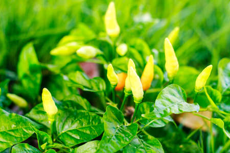 flavorful: Fresh white chillies growing in the vegetable garden ready to harvest.  Stock Photo