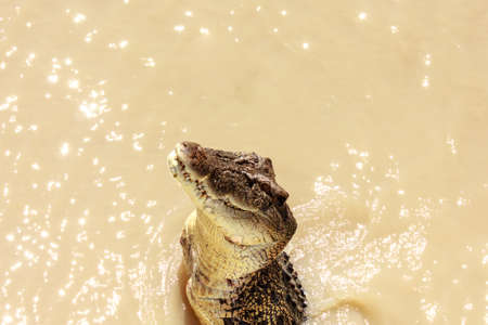 learnt: Crocodiles have learnt to jump for meat Stock Photo