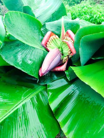 banana blossom in the garden (banana flower) photo