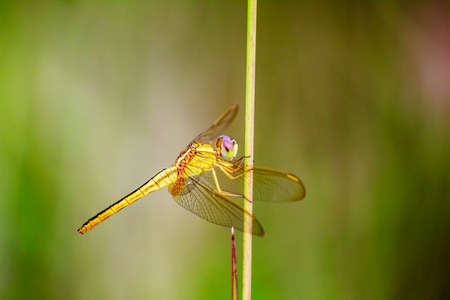 dropwing: Portrait of dragonfly - Yellow dragonfly in nature