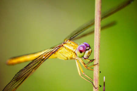 Portrait of dragonfly - Yellow dragonfly in nature photo