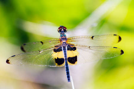 moustached: Portrait of dragonfly - Yellow dragonfly in nature