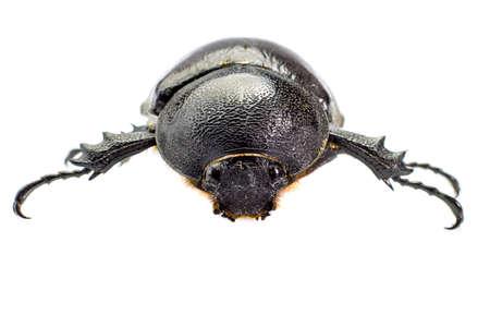 horn beetle: Beetle,Rhinoceros beetle, Rhino beetle, Hercules beetle, Unicorn beetle, Horn beetle
