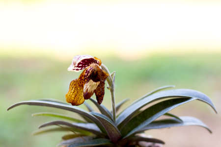 lady slipper: Withered lady slipper orchid from garden