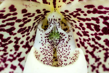close up of Paphiopedilum staminode (lady slipper orchid)