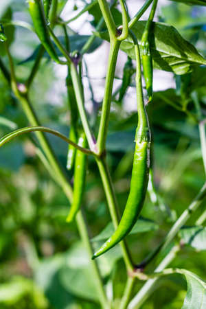 fresh green chilli on tree in the garden Stock Photo