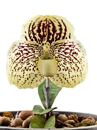 Orchid name  Paphiopedilum godefroyae  on white background