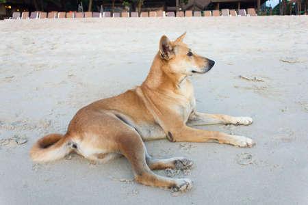 A brown Dog lying on the beach