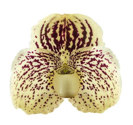 Orchid name  Paphiopedilum godefroyae  isolate on white background