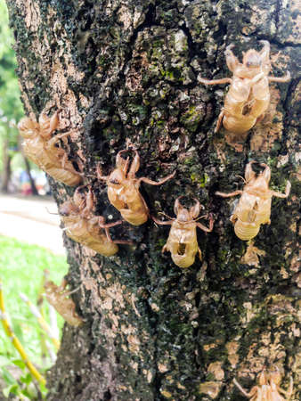 Cicada molt on the tree in the nature garden 版權商用圖片