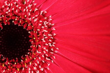 beautiful red daisy flower photo