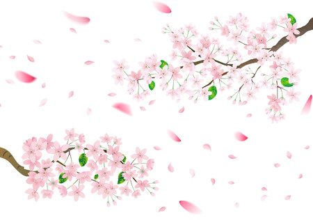 Pink sakura flower and flying petals. Cherry blossom isolated on white background. Vettoriali