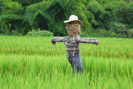 Scarecrow in green rice field. Selective focus