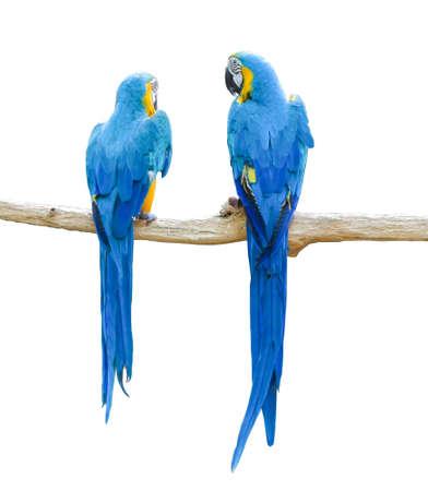 Par de loros guacamayos azules y amarillos en rama aislado sobre fondo blanco. Foto de archivo