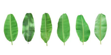 Set of green banana leaf isolated on white background.