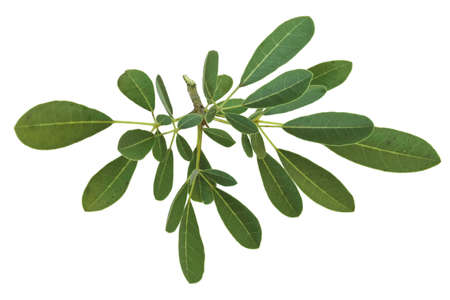Green leaves on branch isolated on white background. Standard-Bild