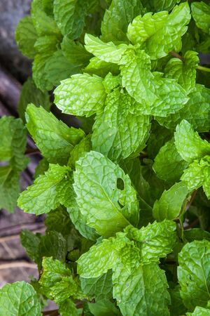 Large swathes of green mint leaves Stock Photo