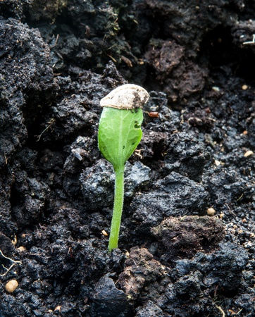 Pumpkin seeds is grown in soil that is completely black Stock Photo