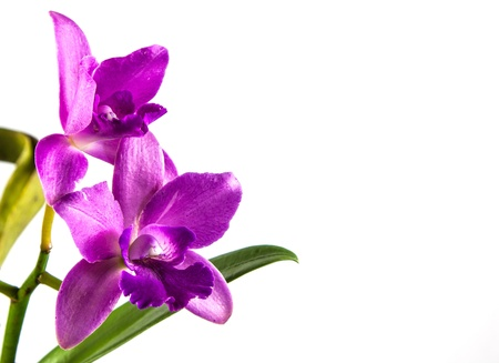 Beautiful orchid flower on white background photo