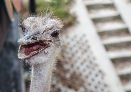 Close up of ostrich face photo