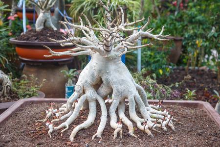 adenium: Adenium socotranum in garden