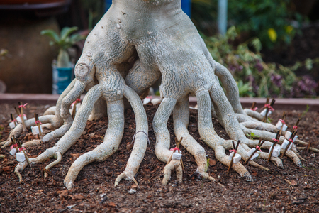 fasten: Close up of adenium roots that fasten with small branch Stock Photo