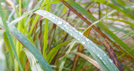 Water drop on lemongrass leaves