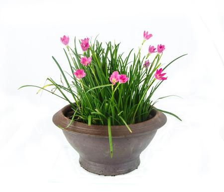 flower in pot on white background