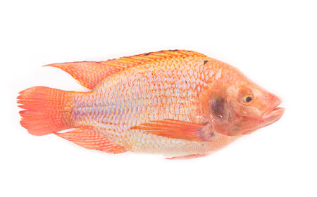 oreochromis niloticus: Fresh red nile tilapia fish (Oreochromis niloticus) on white background