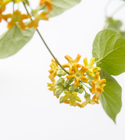cowslip: Close up of cowslip Creeper - edible flower on white background
