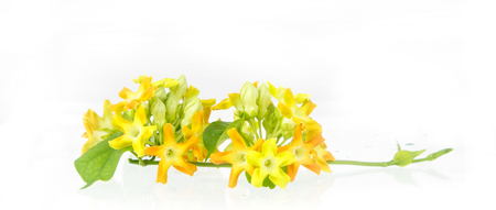 cowslip: close up of cowslip Creeper - edible flower on white background Stock Photo
