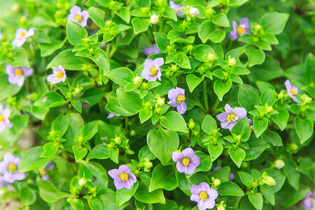 Group of  small vilolet flower  -  Persian Violet